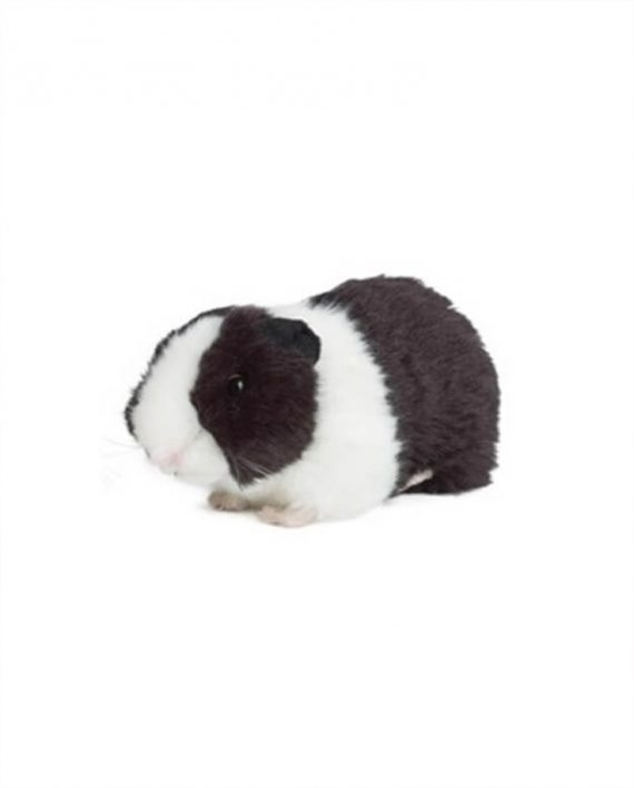 Black and White Guinea Pig