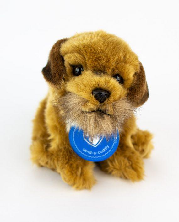 Beautiful Border Terrier