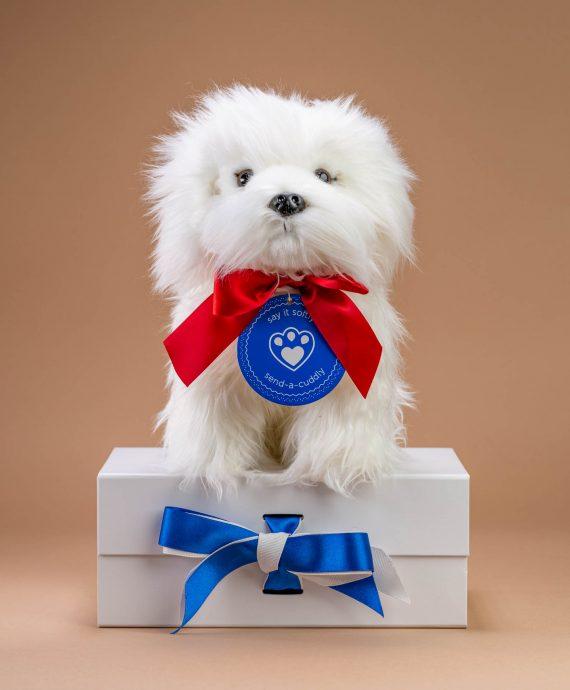 Maltese Cuddly dog